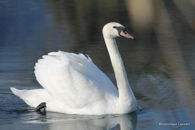 1__faune__Dom.L__0112__cygne majestueux au lac