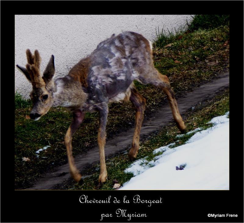 1__faune__MF__0212__le chevreuil-001