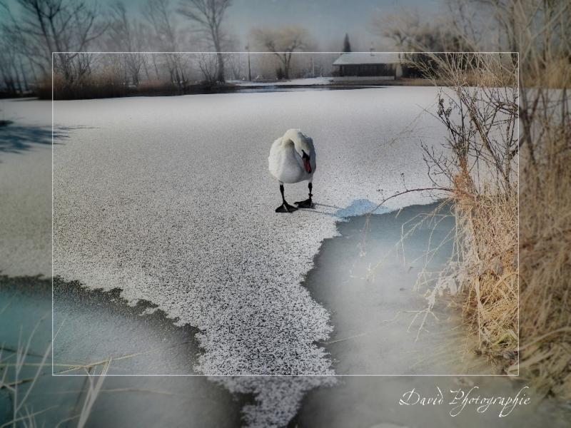 1__faune__david demiere__0212__le cygne au Lac