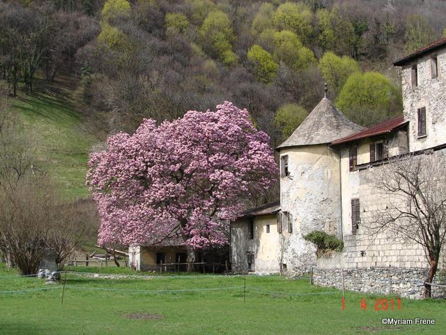 1__village__M.F.__0411__Maison Forte de Gruyère et son magnolia-001