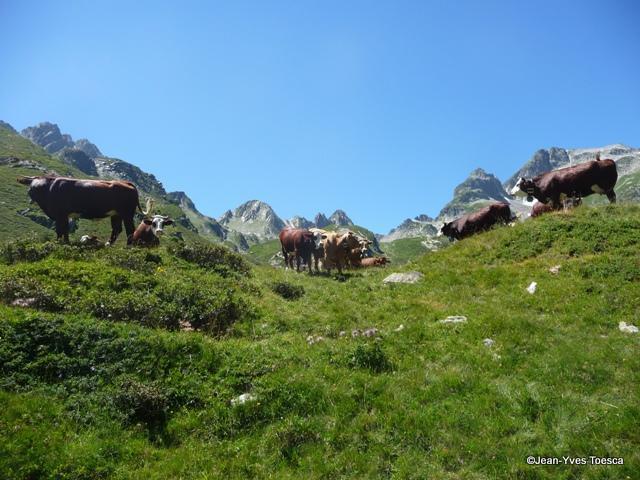 1__faune__JYT__0712__Les vaches vers la Combe du Bacheux