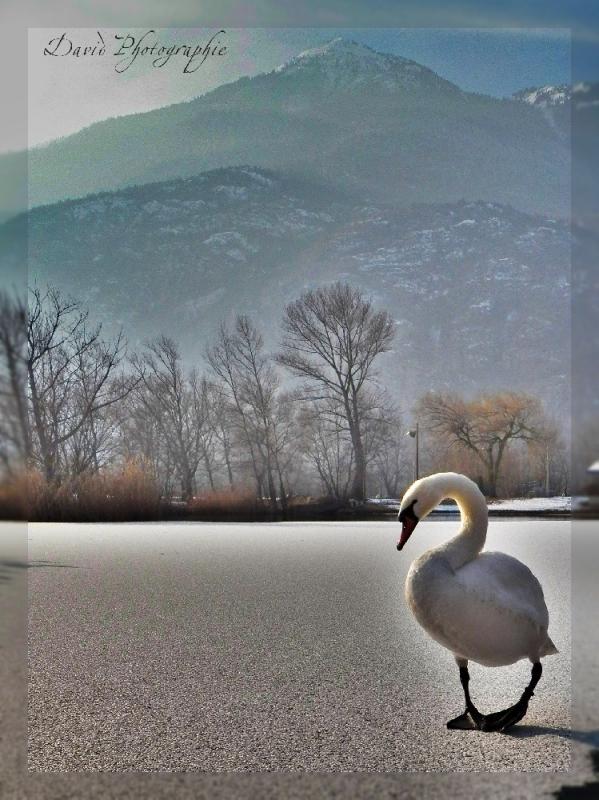 1__faune__david demiere__0212__cygne sur lac glacé  regarde Mt-Cuchet